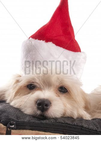 Maltese dog with a Santa hat