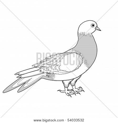 A monochrome sketch of a pigeon. Vector-art illustration on a white background poster