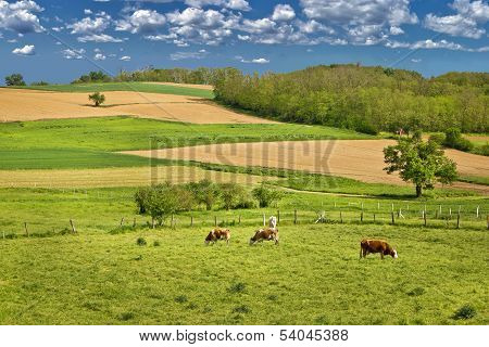Cow Herd In Green Landscape
