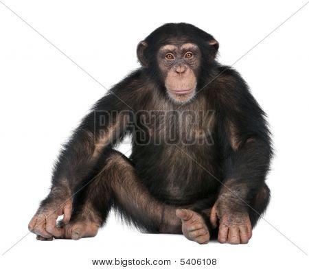 Joven chimpancé