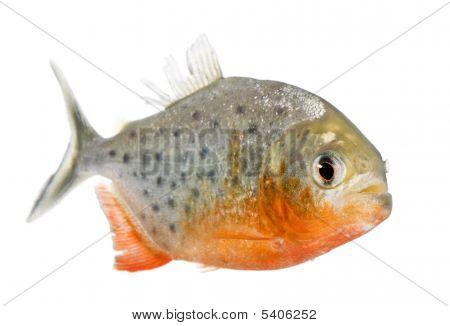 Piranha - Serrasalmus Nattereri