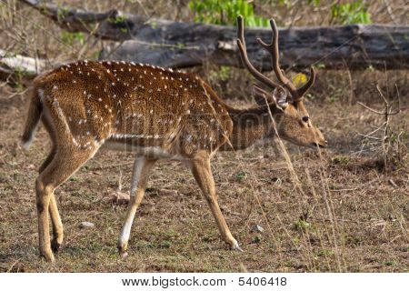 Axis (chital) stag in Bandipur National Park India. poster