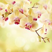 Yellow orchid on a light background poster
