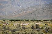 Gropu of gemsboks or gemsbucks (Oryx gazella) is a large antelope at south Africa bush poster