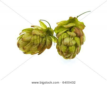 Two Green Cones Of Hop