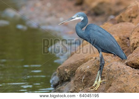 A Western Reef Heron (Egretta gularis) standing on rocks above the tide line poster