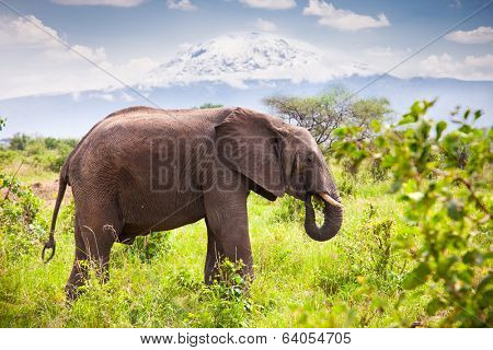 Large adult elephant with a snow covered Mount Kilimanjaro in the background. Tanzania. poster