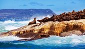 Wild South African seals, many cute sea lions lying down on the rock and bask in the sun, beautiful wild animals, exotic tourism concept poster