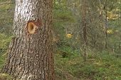 Close-up of spruce trees. Hole made of the woodpecker, Dryocopus martius. poster