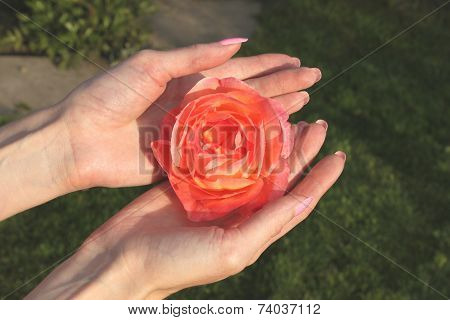 A girl holds red rose flower by hands with beautiful manicure in a dacha garden