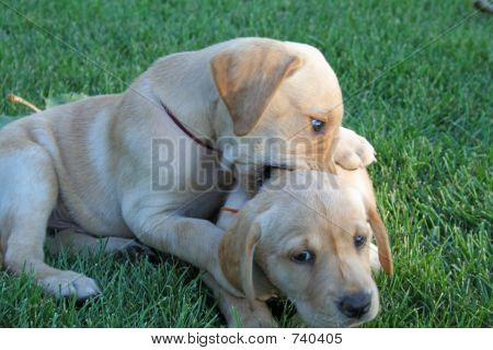 Puppies chewing on each other