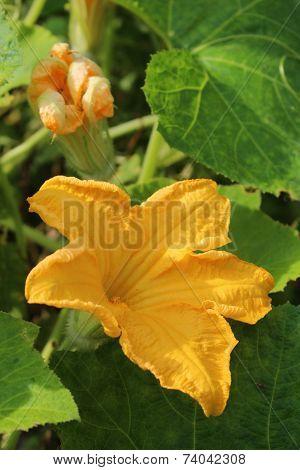 Flower Of Pumpkin