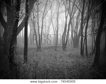 Forrest with Thick Fog
