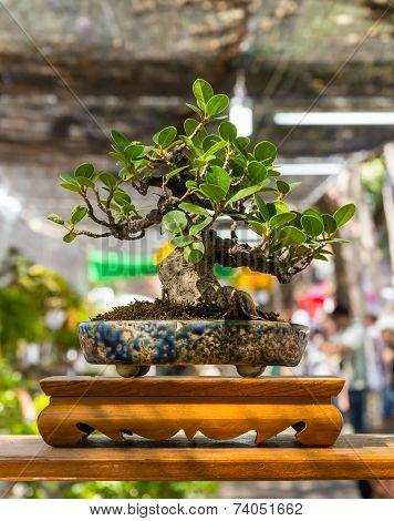 Bonsai Of Banyan Tree