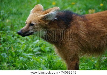 Wild Fox - profile