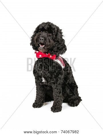 Black Cockapoo