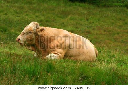 Bull laying on field