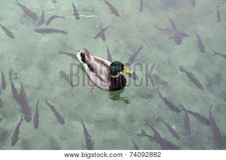 duck and fish