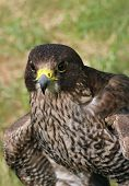 Portrait of a buzzard bird of prey. poster