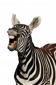 Zebra with mouth open looking like it is laughing - isolated poster