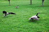 A goose defends its feeding area. poster