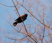 Red winged blackbird on branch with spring sky in background poster