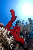 red natural sponge in the tropical seas poster