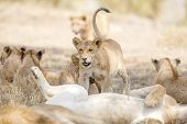 Many lions in a large pride laying under a tree in Serengeti Tanzania, Africa. poster