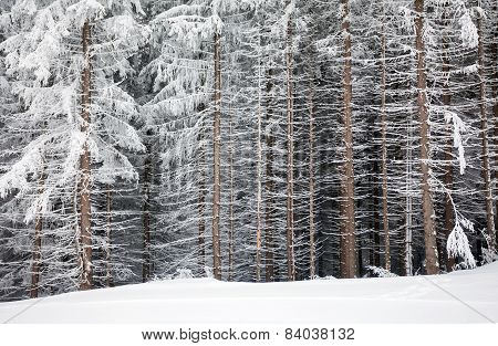 Pine Tree Trunks Covered With Snow In Winter