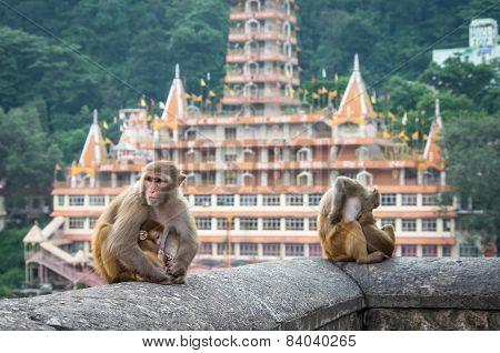 Indian Macaque Monkeys