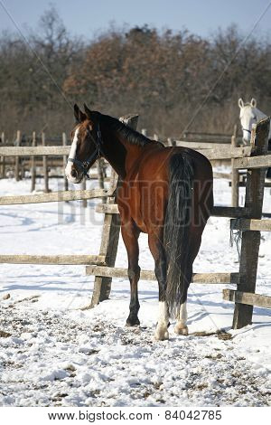 Purebred Stallion Looking Back In Winter Paddock