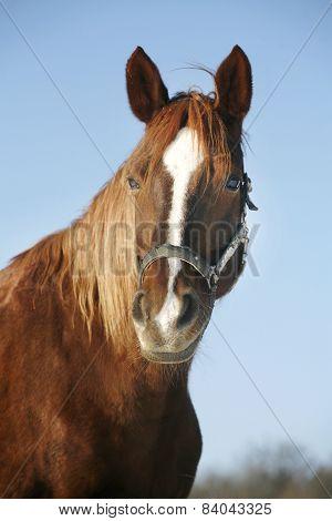 Portrait Of A Nice Purebred Horse Winter Corral Rural Scene.