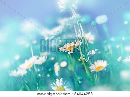 Daisy flowers in meadow