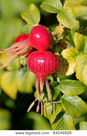 Rose Hips Of Rosa Rugosa In Autumn