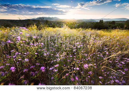 Wind-blown Purple Asters At Sunset In Northern New Mexico