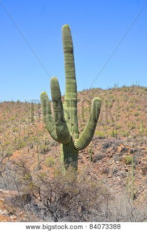 The saguaro is an arborescent (tree-like) cactus species in the monotypic genus Carnegiea,. It is native to the Sonoran Desert (Saguaro National Park) in the U.S. state of Arizona. poster