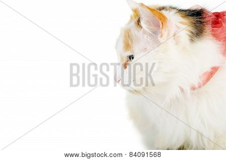 White Cat With Russet  Stainswhite Cat With Russet  Stains
