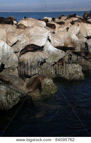 Sea Lions Sleeping On The Rocks