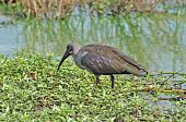 A Hadeda Ibis wade bird in the Kruger Park South Africa poster