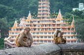 Indian Macaque monkeys at Laxman Jhula bridge Rishikesh India poster