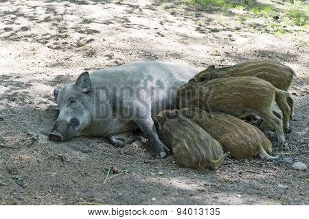 Wild Boar Family, Sus Scrofa, Mother And Piglets Suckling
