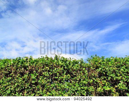 Privet Hedge and sky background