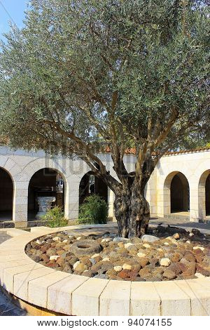 Courtyard With Olive Tree, Church Of The Multiplication Of The Loaves And Fish, Tabgha, Israel