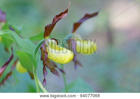 Side view of two plants of yellow and brown Lady's slippers orchid. Latin name: Cypripedium calceolus. Sweden poster