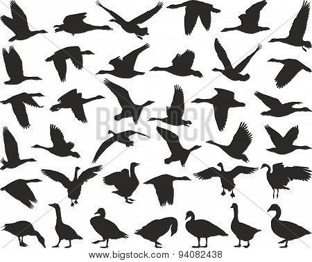 Bird wild geese