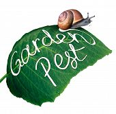 Garden pest symbol and gardening problem as a snail eating and destroying a green leaf with an eaten chewed hole with a message of pests in agriculture and vermin destruction to plants. poster