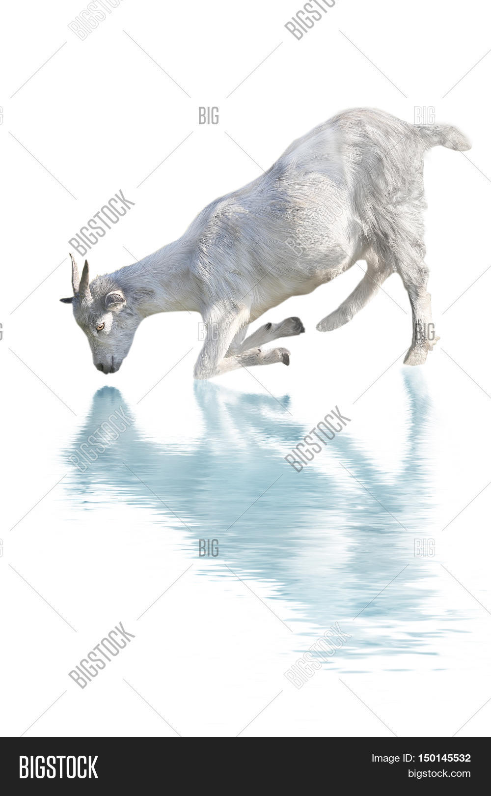 goat drink water image photo free trial bigstock