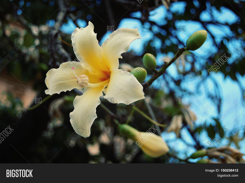 Creamy yellow lily image photo free trial bigstock creamy yellow lily like flower aged photo blossoming ceiba insignis retro filter izmirmasajfo