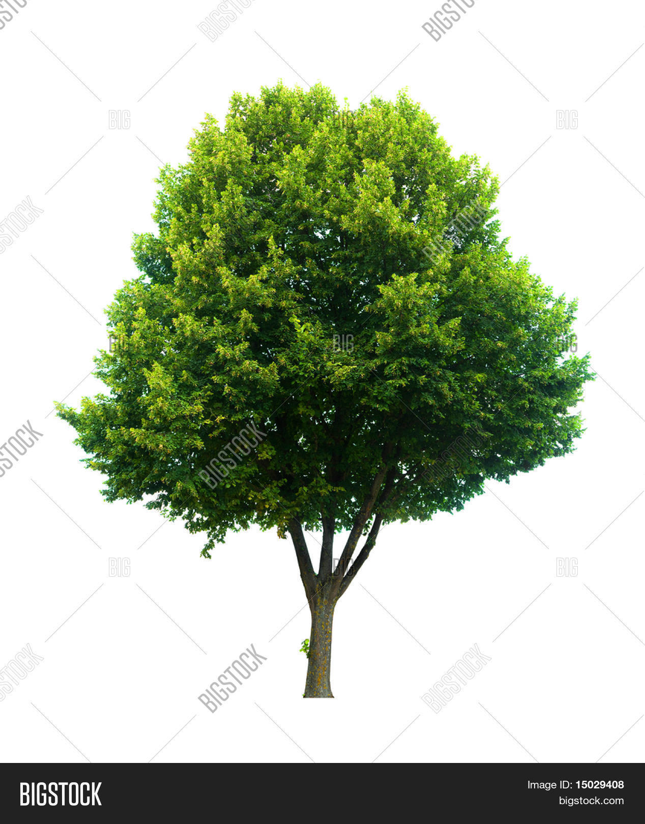 This Isolated Lime Tree Should Be A Tilia Cordita Or Platyphyllos By The Latin