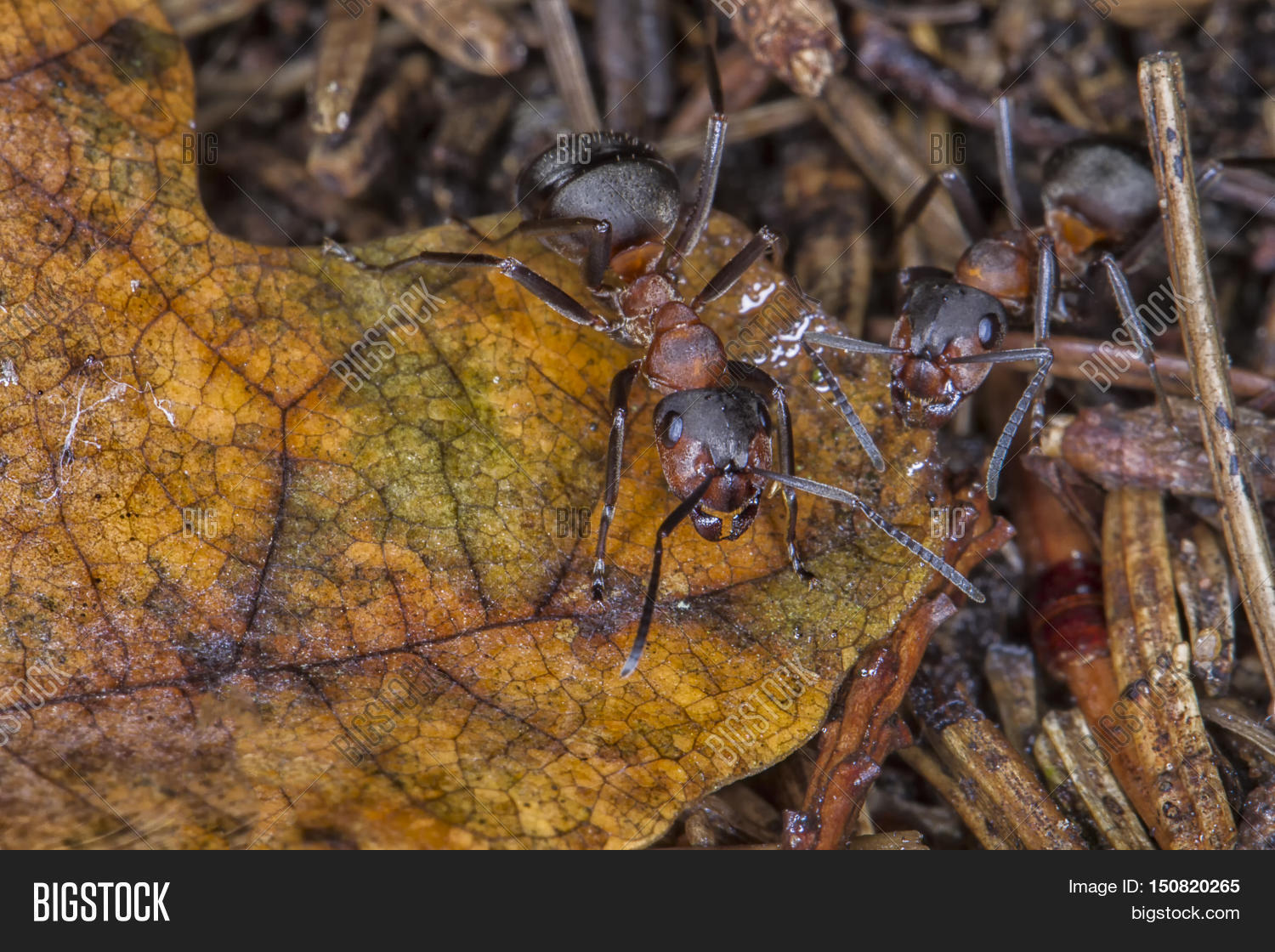 Ants On Anthill/ANT/ Image & Photo (Free Trial) | Bigstock